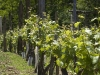 Sisak, 120508. vinograd vino Marincic Foto: Miroslav Kis / Cropix