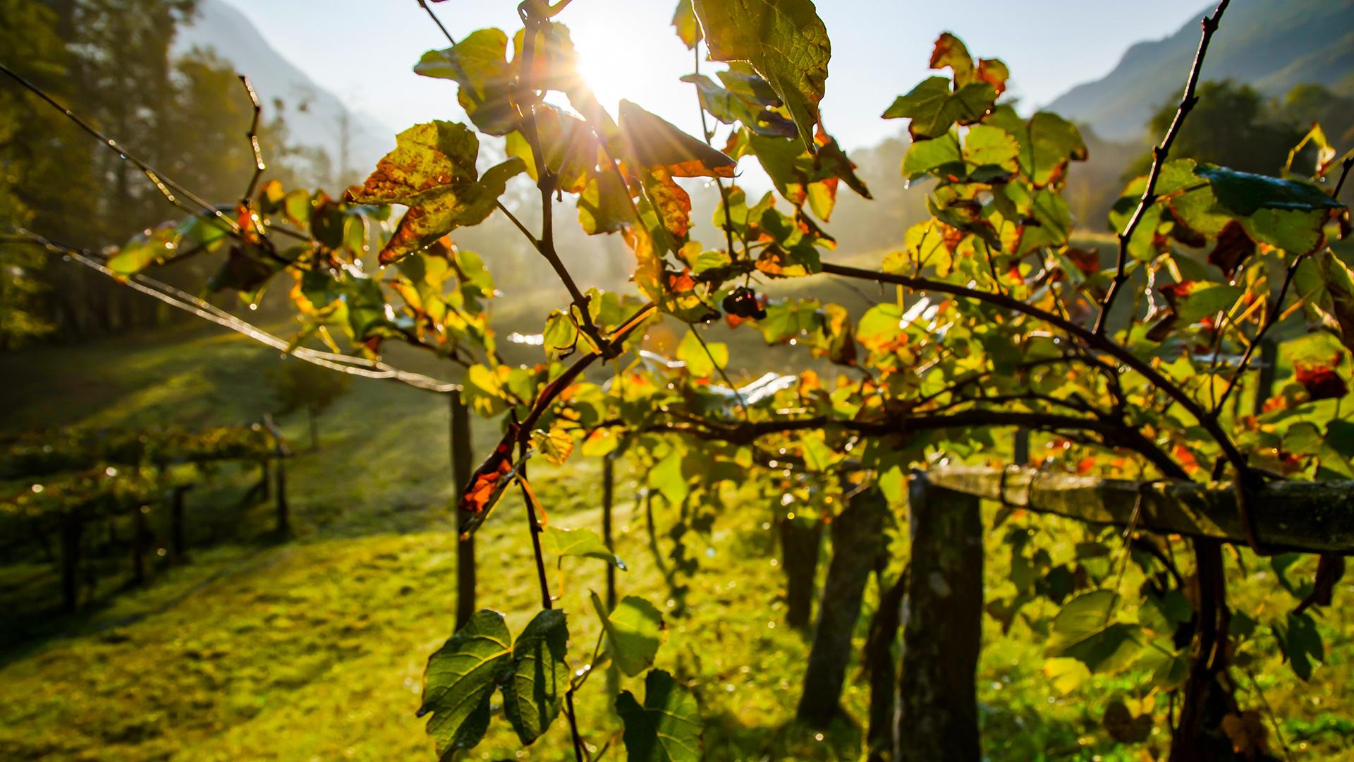 VM-_0005_beautiful-shot-wine-field-sunlight-switzerland